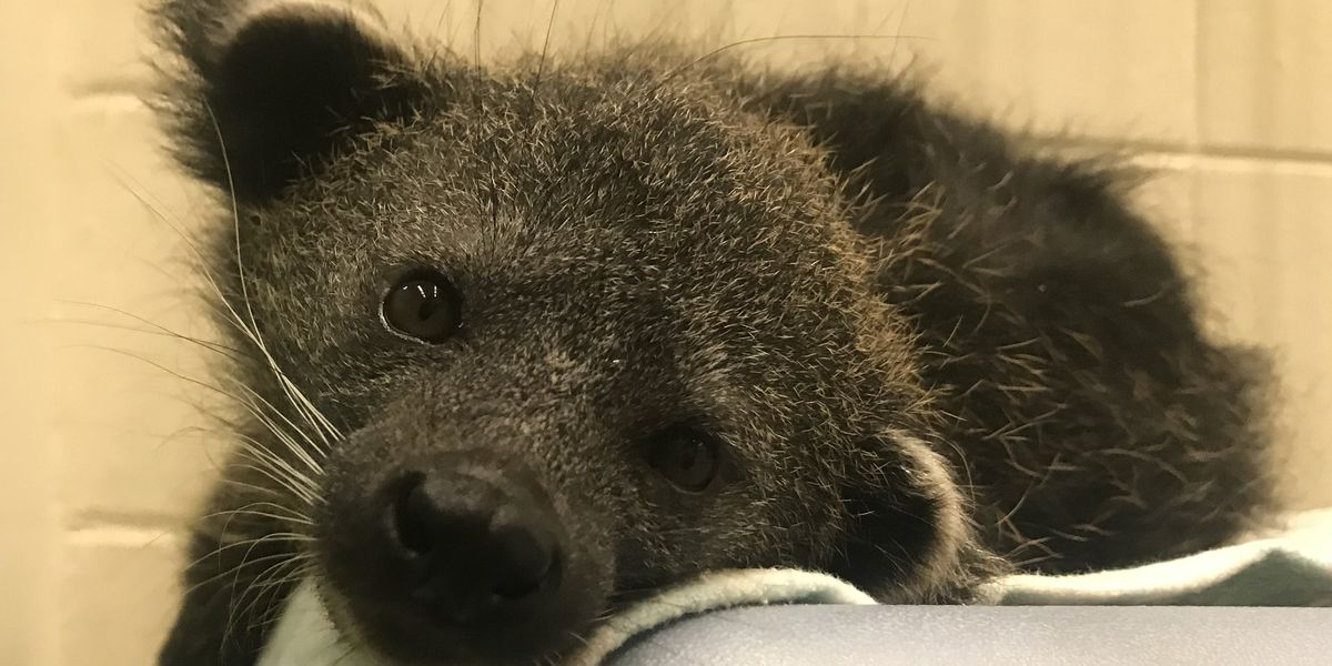 Cincinnati Zoo reveals new bearcat's name