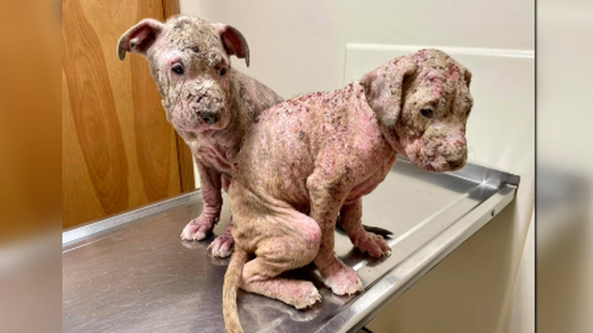 GRAPHIC: Neglected puppies rescued in Southern Indiana